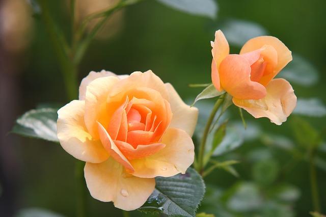 Two orange roses.