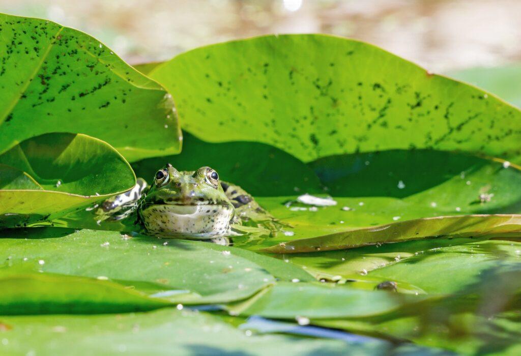 Frog in a Garden Pond