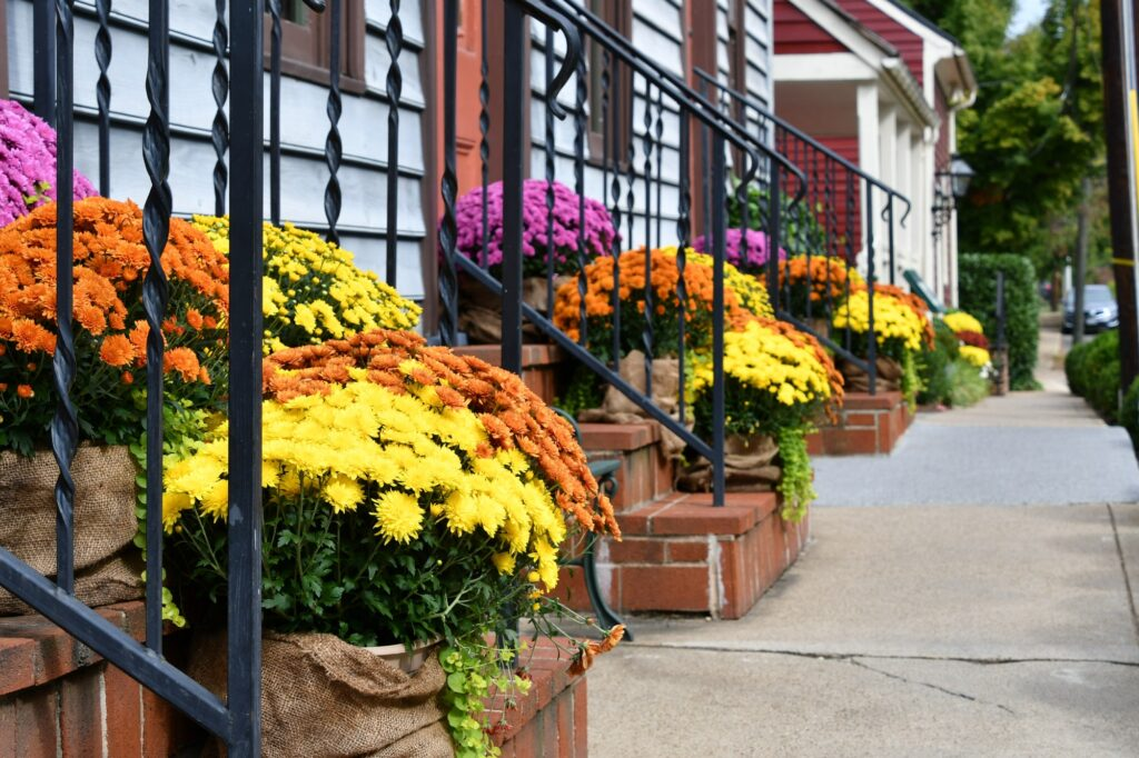Colorful fall autumn Chrysanthemums lined up on front porch stoops along a sidewalk